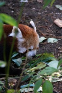 Red Panda - Scott Clifford
