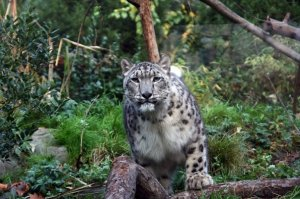 Snow Leopard - Scott Clifford